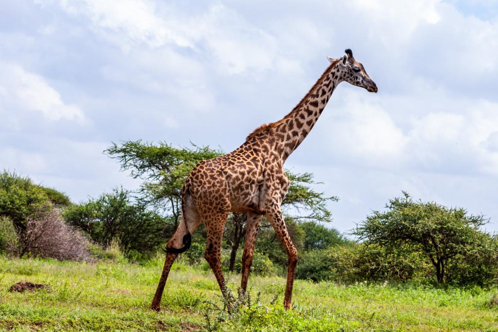 giraffe-standing-on-grass-field-3529692.jpg